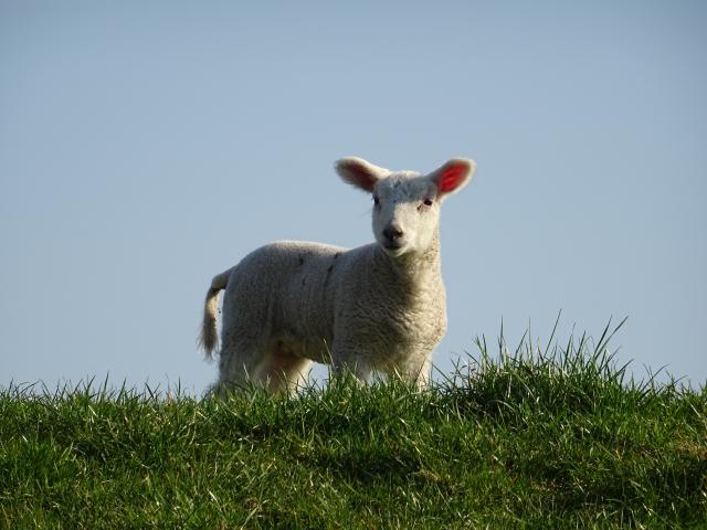 Schaf-Deich